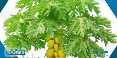 شجرة العنبروت بين الفوائد والأضرار